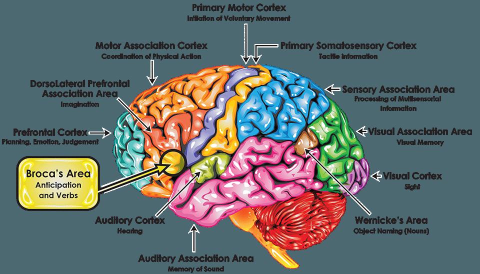 Broca Brain Map